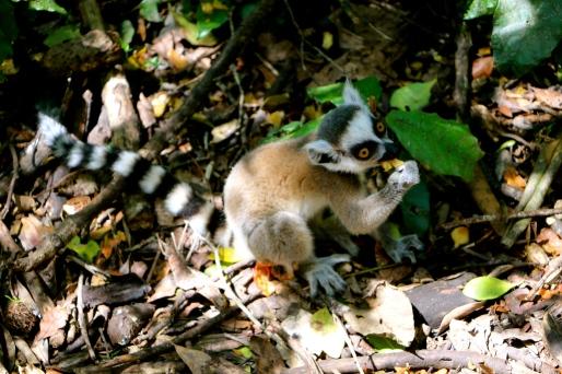 and King Julian, a Lemur